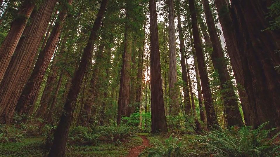 MTJP---Redwood